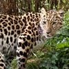 Amur_Leopard3w.jpeg