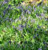 DSC_4789_Copy_Bluebells_4.jpg