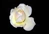 White_Rose_plus_aphid.jpg
