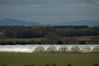 _IGP3571Rs_polytunnels_from_perth_road.jpg