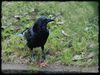 Raven_DSC_0006.jpg