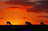 Sunset_-_sheep_silhouette___bird_copy~0.jpg