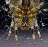Cropped_spiders_teeth.jpg
