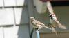 sparrows_001.jpg