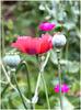 poppy.jpg