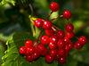 Autumn_Berries_2~0.jpg