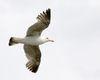 Gull_Flying.jpg