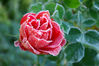 IMGP8716RS frosty rose.jpg