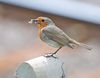 Robin (Erithacus rubecula) DSC_0095.jpg