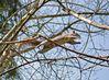 grey squirrel (Sciurus carolinensis)DSC_0052.JPG