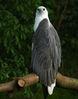 sea_eagle.jpg